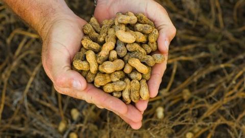 В Саратовскую область не пропустили полтонны подозрительного арахиса