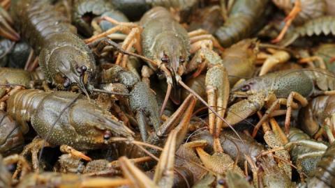 В Саратовской области запрещен лов раков