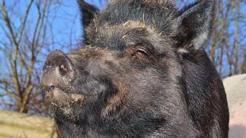 Волгоградские браконьеры убили саратовского кабана и сбежали