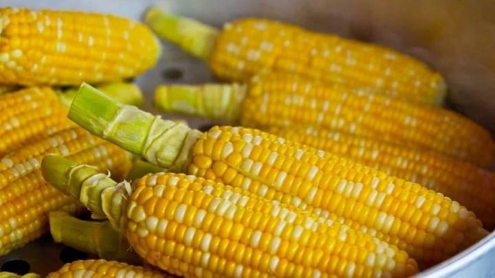 Опасную бактерию обнаружили в кукурузе из Чили саратовские специалисты