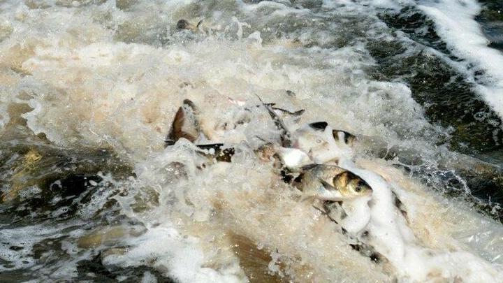 В водоем-охладитель Балаковской АЭС запустили почти 12,5 тонны рыбы