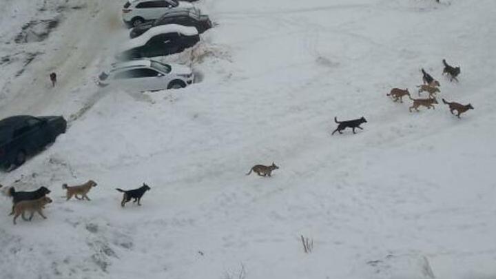Бродячие собаки напали на ребенка в Солнечном поселке | ВИДЕО