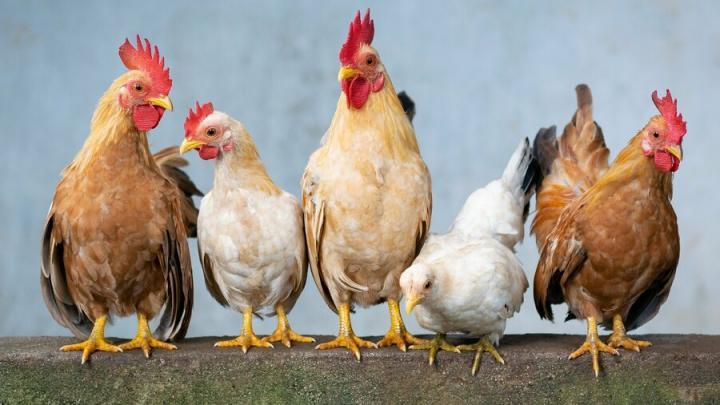 Передающийся людям птичий грипп впервые обнаружен в России