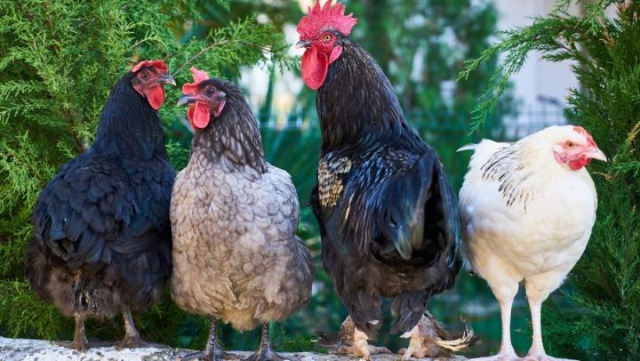Импортные яйца и курица подорожают на 15 процентов
