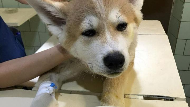 Пёс проглотил воздушный шарик и попал в клинику в Саратове
