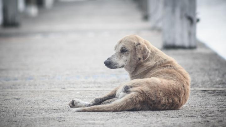 В Новоузенском районе стерилизуют 52 собаки