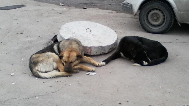 В Заводском районе Саратова вольготно расположились две стаи бездомных собак