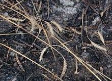 В Самойловском районе горело пшеничное поле