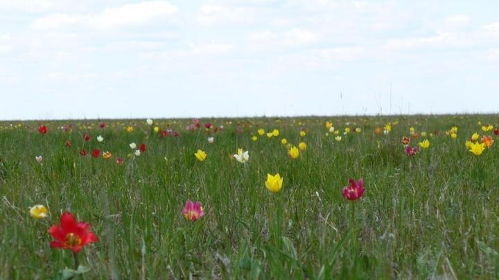 Тюльпановые поля будут цвести в Саратовской области еще неделю