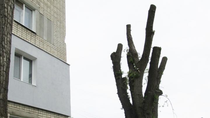 Варварски обрубленные деревья в Заводском районе погибли