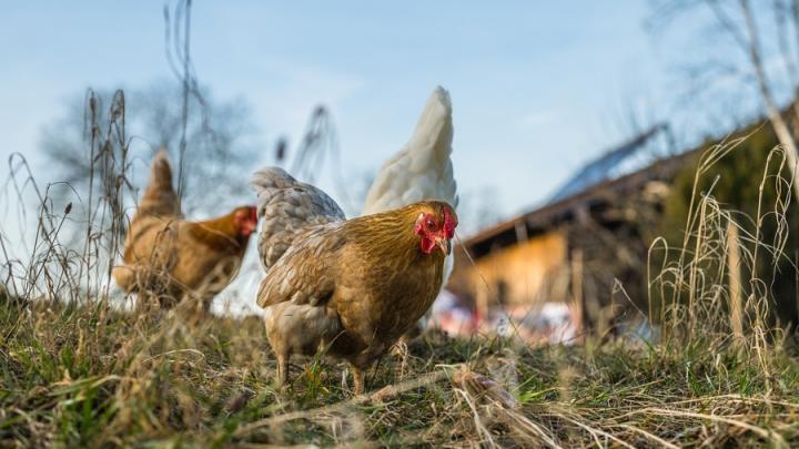 Самарские ветеринары разрешали отправлять зараженных кур в Саратовскую область