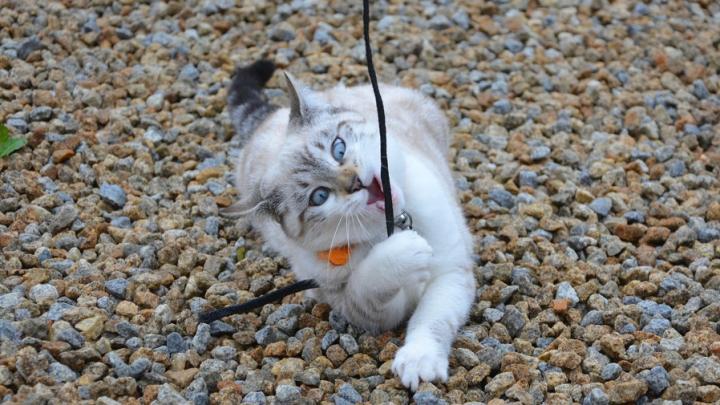 Саратовская кошка проглотила нитку с иголкой и попала на операционный стол