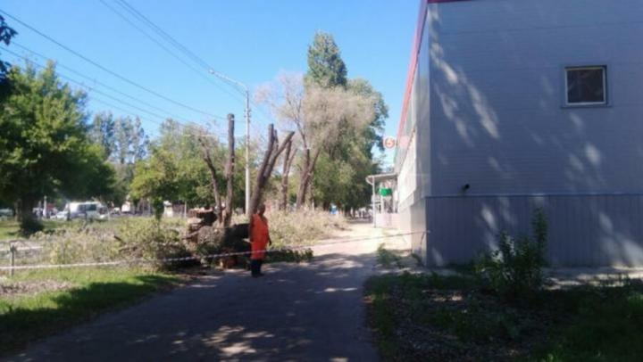 Администрация разъяснила саратовцам ситуацию с опиловкой деревьев у «Пятерочки»