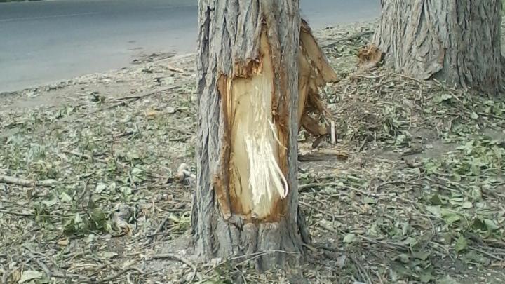 В Заводском районе Саратова во время кронирования изуродовали стволы деревьев