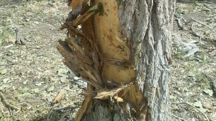 Саратовские чиновники дадут «правовую оценку» изуродованным в ходе кронирования деревьям