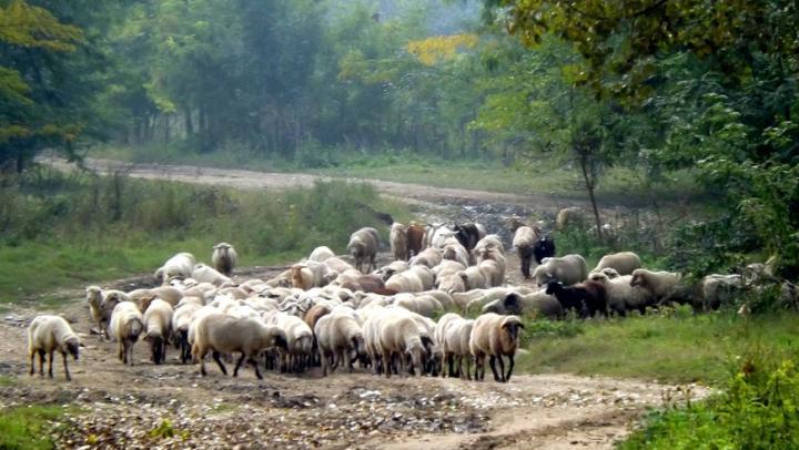В Саратовской области задержали 715 овец