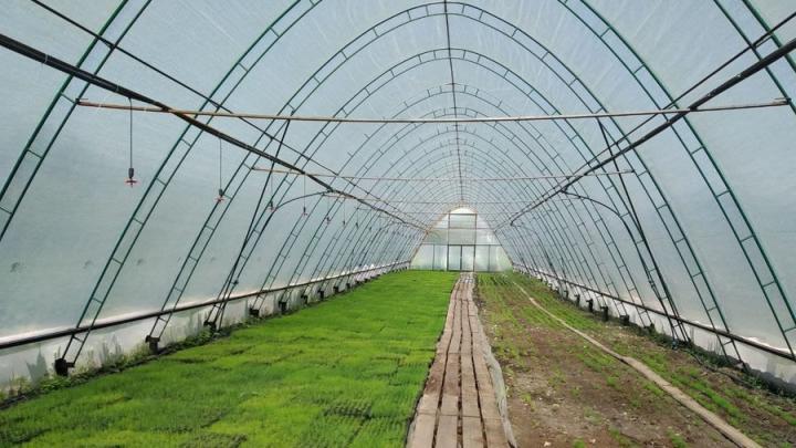 В Красноармейском лесхозе построена уникальная теплица с соснами