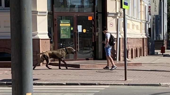Огромная собака потерялась в центре Саратова