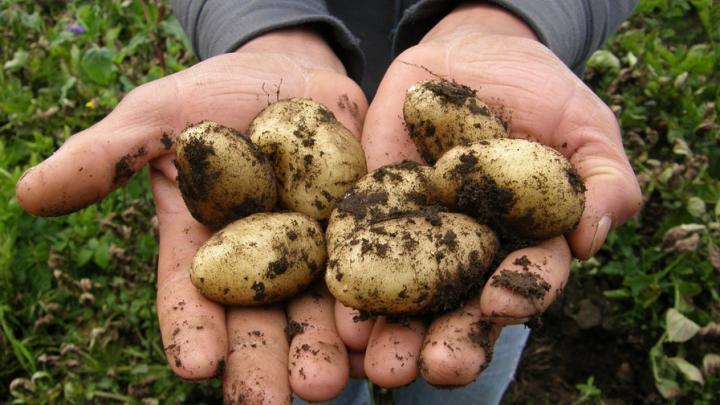 40 тонн российского картофеля не пустили в Казахстан