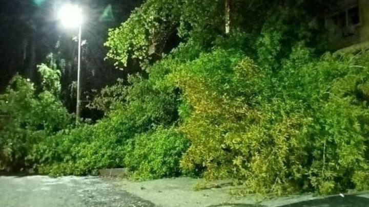 Саратовцам пообещали убрать упавшее дерево до конца следующей недели