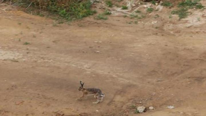 Саратовцы увидели зайца в Юбилейном и обрадовались улучшению экологии