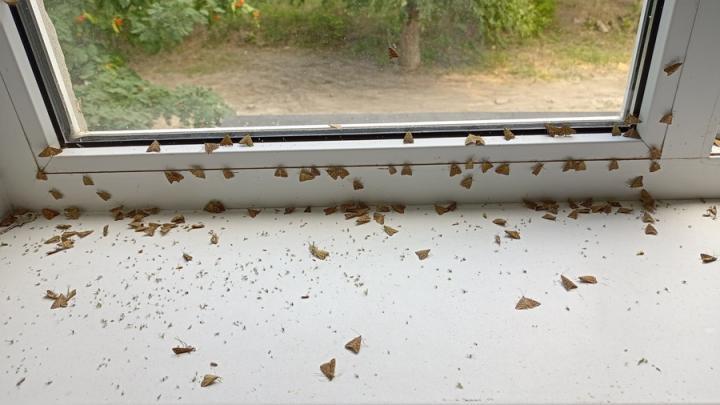 Профессор СГУ: нашествие мотыльков связано с солнечной активностью