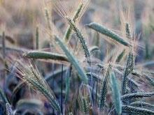 В Красноармейском районе приостановлена уборка зерновых