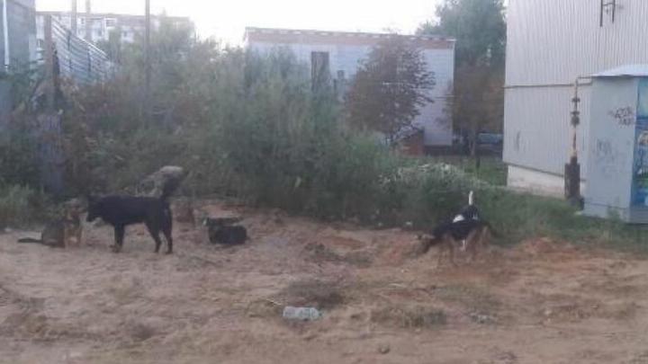 В Саратове уличные собаки набросились на пятилетнего ребенка
