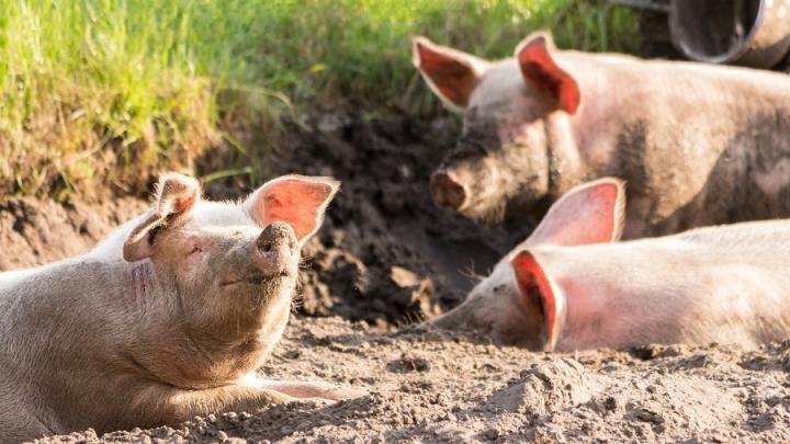 В Энгельсском районе введен карантин по африканской чуме свиней