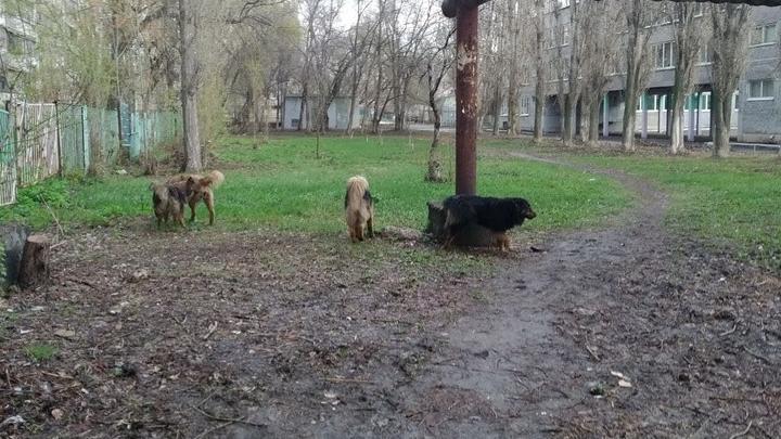 Бродячие собаки покусали учительницу в Саратове: следователи организовали проверку