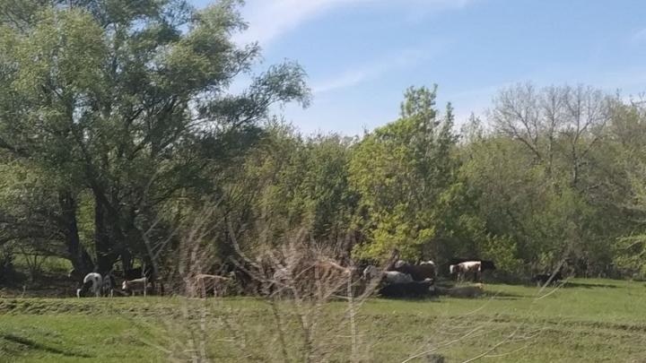 Уже в девяти населенных пунктах Саратовской области введен карантин по лейкозу