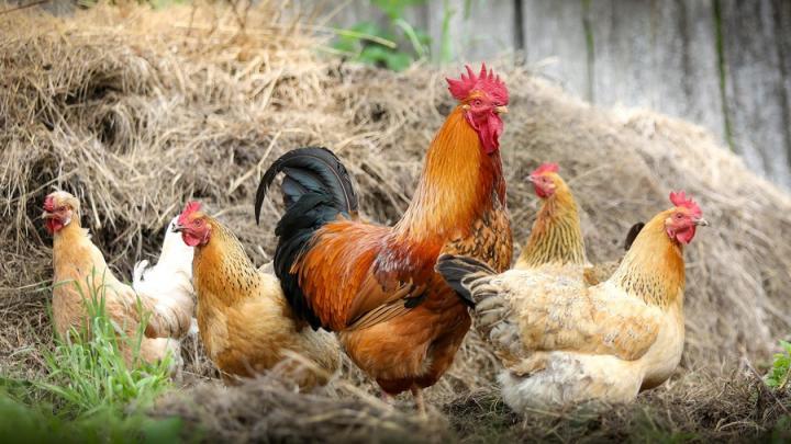 В Федоровском районе изымут птиц, зараженных птичьим гриппом