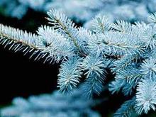 На Радищева посадят взрослые голубые ели