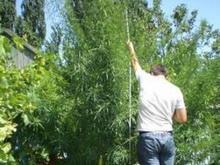 Саратовец привлечен к ответственности за выращивание гигантской конопли