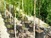 За 2013 год в Саратове посадят около 3500 деревьев