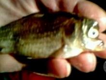 Близ Ртищева поймана рыба-мутант