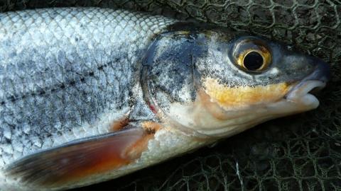 За 13 рыбцов рыбаку грозит два года
