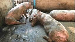 Ветеринары не допустили попадания чумы свиней на саратовские предприятия