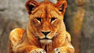 С владельца напавшей на подростка львицы Майи взыщут 65 тысяч рублей