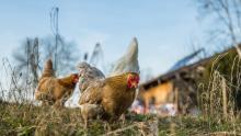Грипп птиц обнаружен в Краснопартизанском районе